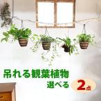 Yahoo!観葉植物のパーフェクトグリーン観葉植物 2種類 まとめ買い 吊れる観葉植物 送料無料 お買い得 ポトス コウモリラン アスプレニウム