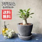 アデニウム コーデックス B-POT 陶器鉢植え 卓上サイズ 多肉植物  観葉植物 送料無料 塊根植物