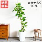 送料無料 フィカス アルテシーマ フィカスアルテシマ ゴムの木 大サイズ 大鉢 10号鉢 観葉植物 大型