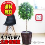 ベンジャミン 8号鉢 鉢カバー付 観葉植物 送料無料 ゴムの木 フィカス ベンジャミナ