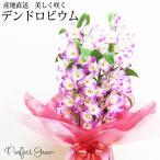 デンドロビウム 蘭鉢 ピンク系 ギフト用 自宅用 デンドロビウム花 送料無料 洋蘭 蘭