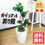 昇り龍樹形 ガジュマル 白色セラアート鉢 幸せを呼ぶ多幸の木 観葉植物 お祝いや自宅用 送料無料