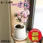 桜 一才桜 旭山 陶器鉢植え 盆栽 花芽付き 送料無料 桜の木 ミニ ギフト