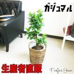 ガジュマル 多幸の木 観葉植物 鉢カバー付 幸福の木 ガジュマルの木