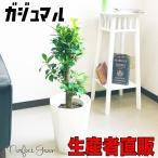 ガジュマル 幸せを呼ぶ多幸の木 観葉植物 スタイリッシュな白色鉢カバー付 幸福の木 ガジュマルの木