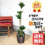 ドラセナ・コンパクタ 鉢カバー付  観葉植物 送料無料 中〜大型サイズ