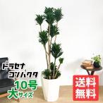 送料無料 ドラセナ コンパクタ  大サイズ 大鉢 10号鉢 観葉植物 幸福の木 大型