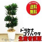 ドラセナ コンパクタ 8号 120cm スタイリッシュな白色鉢カバー   観葉植物 送料無料