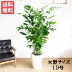 送料無料 高性チャメドレア  ヤシの木 大サイズ 大鉢 10号鉢 観葉植物 ヤシ コウセイチャメドレア 大型