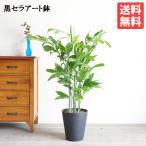 高性チャメドレア ヤシの木 観葉植物 ブラックセラアート鉢 送料無料