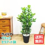 クルシア ロゼア プリンセス クルーシャ 観葉植物 ブラックセラアート鉢 送料無料