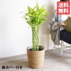 ミリオンバンブー 鉢カバー付  観葉植物 ドラセナ 送料無料 サンデリアーナ 幸福の木 中型〜大型 即日出荷