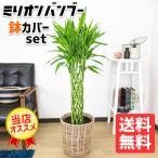 ミリオンバンブー 8号 ナチュラル鉢カバー付  観葉植物 ドラセナ 送料無料 サンデリアーナ 幸福の木 中型〜大型