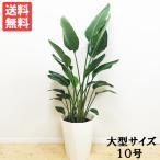 送料無料 オーガスタ 大サイズ 大鉢 10号鉢 観葉植物 大型