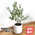 オリーブの木 ホワイト陶器鉢植え 送料無料 庭木 鉢植え 観葉植物 おしゃれ インテリア 中型 小型 ミニ オリーブ
