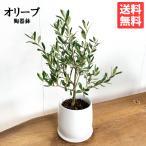 オリーブの木 ホワイト陶器鉢植え 送料無料 鉢植え 観葉植物 おしゃれ インテリア 中型 小型 ミニ オリーブ 即日出荷