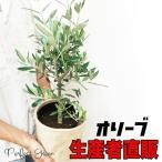 オリーブ ナチュラルな麻素材 鉢カバー付 オリーブの木 観葉植物 即日出荷