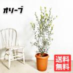 Yahoo!観葉植物のパーフェクトグリーンオリーブ 送料無料 オリーブの木 観葉植物 庭木 鉢植え お買い得