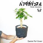パンダガジュマル デニム鉢カバー付き ゴムの木 ガジュマル 希少種 観葉植物 即日出荷