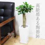 ガジュマル パンダガジュマル スクエア陶器鉢植え ゴムの木 希少種 観葉植物 送料無料 ガジュマロ