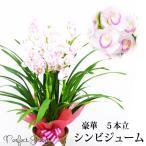 シンビジウム 豪華5本立 ピンク系色 鉢カバー付 鉢植え 送料無料 シンビジューム 洋蘭 蘭