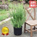 ボリューム有り ローズマリー 立性 鉢植え 観葉植物 苗 苗木 ハーブ