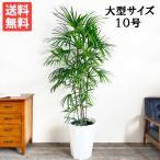 送料無料 シュロチク 棕櫚竹 大サイズ 大鉢 10号鉢 観葉植物 大型