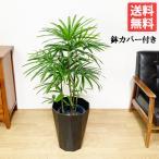 棕櫚竹 シュロチク 8号 スタイリッシュな黒色鉢カバー 寒さに強い 観葉植物 送料無料