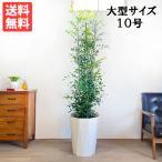 送料無料 シルクジャスミン ゲッキツ 大サイズ 大鉢 10号鉢 観葉植物 大型