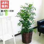 シルクジャスミン 鉢カバー付 送料無料  ゲッキツ 観葉植物 中型〜大型