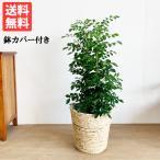シルクジャスミン ナチュラル鉢カバー付 送料無料 ゲッキツ 観葉植物 中型〜大型