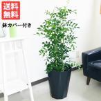 シルクジャスミン スタイリッシュな黒色鉢カバー付 送料無料 ゲッキツ 観葉植物 中型?大型