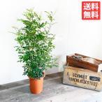 シマトネリコ 苗 庭木 株立ち トネリコ 観葉植物 中型 大型 インテリア 丈夫 送料無料