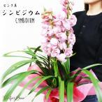 シンビジウム 3本立以上  ピンク系色 送料無料 鉢植え シンビジューム 洋蘭 蘭 ギフト お祝い