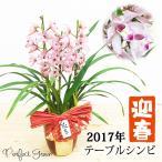 お正月 シンビジウム シンビジューム テーブルシンビ 送料無料 3本立 ピンク系色 迎春陶器鉢植え 洋蘭 蘭 コンパクトサイズ