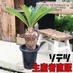 蘇鉄 ソテツ 良品 庭木 地植え 鉢植え 観葉植物 縁起の良い植物 即日出荷 送料無料
