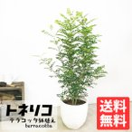 シマトネリコ テラコッタ鉢植え 素焼き鉢 送料無料 トネリコ 観葉植物 株立ち 鉢植え