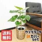 フィカス ウンベラータ ゴムの木 鉢カバー付 観葉植物