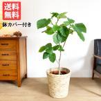 フィカス ウンベラータ ゴムの木 ナチュラル鉢カバー付 観葉植物 送料無料 中〜大型サイズ