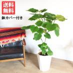 フィカス ウンベラータ ゴムの木 スタイリッシュな白色鉢カバー付 観葉植物 送料無料