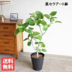 ウンベラータ 観葉植物 ブラックセラアート鉢 フィカス ゴムの木 送料無料