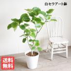 ウンベラータ 観葉植物 ホワイトセラアート鉢 フィカス ゴムの木 送料無料