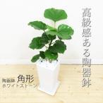 フィカス ウンベラータ スクエア陶器鉢植え ゴムの木 観葉植物 送料無料