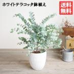 ユーカリ  ホワイトテラコッタ鉢植え 送料無料 ユーカリの木 鉢植え 観葉植物 ベランダ テラス バルコニー ハーブ 玄関