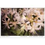 白い彼岸花(花言葉付きポストカード)