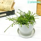 観葉植物 ホヤ レツーサ 3.5号鉢 受け皿付き 育て方説明書付き Hoya retusa 多肉植物 ガガイモ