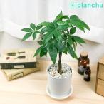 観葉植物 パキラ ネジリ 4号鉢 受け皿付き 育て方説明書付き Pachira glabra 発財樹