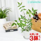 Yahoo!プランチュ Yahoo!店ハーブ 虫除け植物 ミラクルニーム 4号鉢 お買い得3鉢セット Azadirachta indica