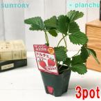 野菜苗 サントリー 本気野菜 イチゴ ドルチェベリー 3号ポット 3ポットセット 果物 果菜苗 イチゴ苗 いちご苗 いちご 四季なり