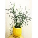 観葉植物 シェフレラ コンパクタ  クイーン 6号 陶器鉢入